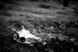 a black and white photographic image of a sheep skull from the 'Noir' series by Eryl Shields
